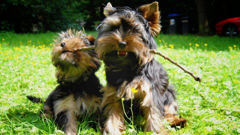 Yorkie power